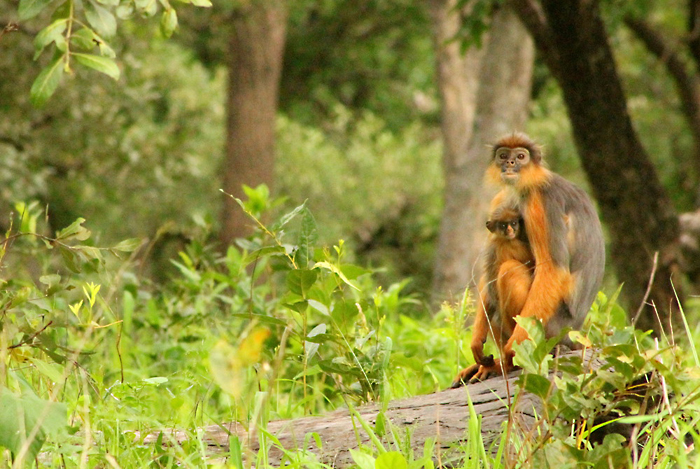 Western Red Colobus, Senegal