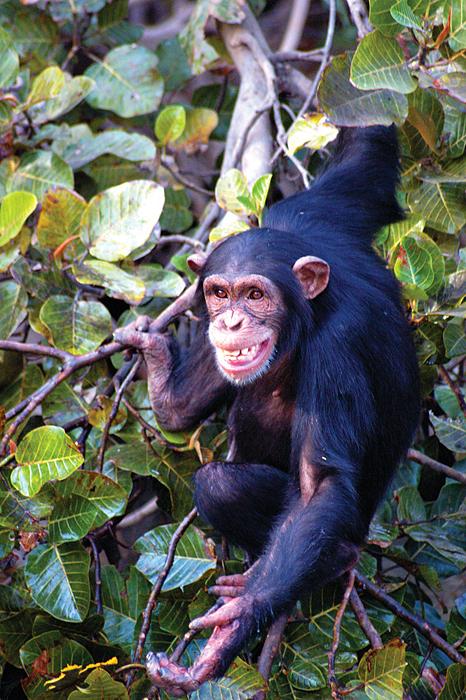 Chimpanzee Rehab Trust