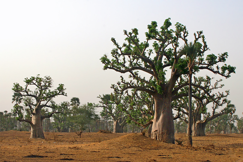 The Baobab 'Tree of Life' Senegal